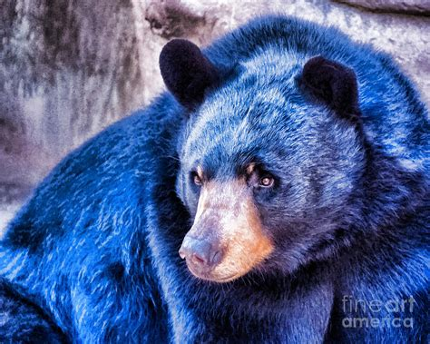 The Tibetan blue bear is one of the rarest bears in the w