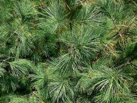 Wagners Tree Service - 10 Types of Common Live Christmas