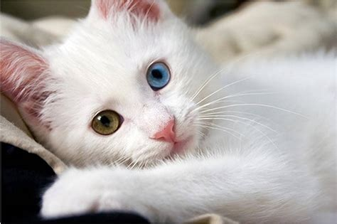 Cat-with-2-different-eye-colors • iOS Mode
