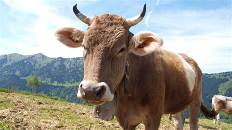 Free Images : nature, meadow, animal, horn, pasture