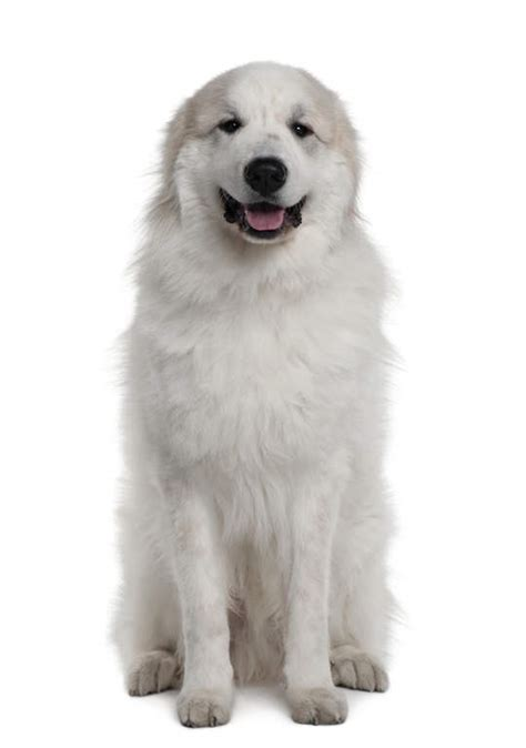 Pyrenean Mountain Dog   Dogs   Breed Information   Omlet