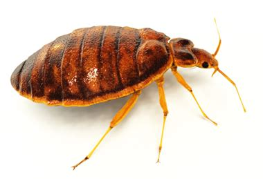 New Pictures of Bed Bugs and Non Pesticide Solutions