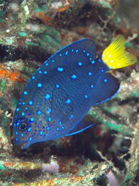 Yellowtail Damselfish Information and Picture | Sea Animals